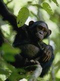 A Chimpanzee in a Tree Lámina fotográfica por Fay, Michael