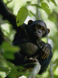 A Chimpanzee in a Tree Photographic Print by Michael Fay