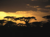 Acacia Trees Silhouetted against the Evening Sky Photographic Print by Marc Moritsch