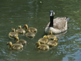 A Mother Canada Goose Watches over Ten Fuzzy Babies as They Swim Photographic Print by Stephen St. John