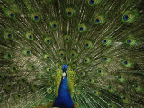 Paon mâle faisant la roue Photographie par Joel Sartore