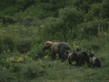 A Female Grizzly Bear Leads Her Cubs Through a Lush Landscape Photographic Print by Karen Kasmauski