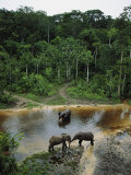 Three Male Forest Elephants Quench Their Thirst in the Modoubou River Photographic Print by Michael Nichols