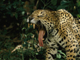 A Jaguar Yawns Photographic Print by Steve Winter
