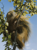 Porcupine in a Tree Photographic Print by Christopher Knight
