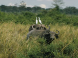 Two Cattle Egrets Stand Atop a Cape Buffalo Photographic Print by Joe Scherschel