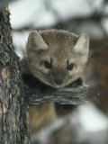 An American Marten in a Tree During a Light Snowfall Photographic Print by Michael S. Quinton
