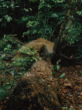 Male Jaguar Taken by a Camera Trap Photographic Print by Steve Winter