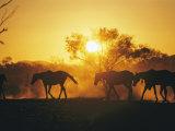 Horses Walk at Sunset Photographic Print by Joe Scherschel