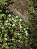 Bunchberry Flowers Blooming on Washingtons Olympic Peninsula Photographic Print by Sam Abell