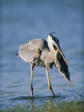 Great Blue Heron with a Fish in its Mouth Photographic Print by Roy Toft