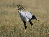 Secretary Bird Reproduction photographique par Nicole Duplaix