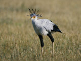 Secretary Bird Photographic Print by Nicole Duplaix