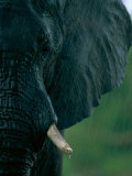 Close View of an African Elephant Showing its Tusks Photographic Print by Beverly Joubert