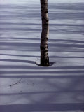 Birch Tree Buried in the Snow Photographic Print by Sam Abell