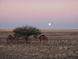 The Moon Rises over Two Camels Tied to a Low Tree Photographic Print by Joe Scherschel