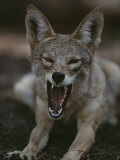 A Coyote Snarls in This Close View Photographic Print by Randy Olson