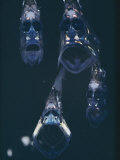 Close View of a Group of Hatchetfish Photographic Print by Paul Zahl