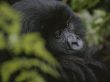 A Young Mountain Gorilla in Rwandas Virunga Mountains Photographic Print by Michael Nichols