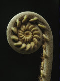 A Close View of the Spiral of a Fern Fiddlehead Photographic Print by Tim Laman