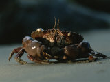 A Close View of a Crab Photographic Print by Chris Johns