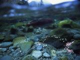Split Level View of Underwater, Clayoquot Sound, Vancouver Island Fotoprint van Joel Sartore