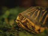 A Nervous Ornate Box Turtle Retreats into its Shell Photographic Print by Joel Sartore