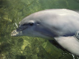 A Bottlenose Dolphin, Tursiops Truncatus, Prepares to Submerge Photographic Print by Bill Curtsinger