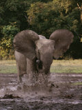 A Forest Elephant Runs Through Water Photographic Print by Michael Fay