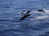 A Group of Dolphins Leap from the Ocean Near Kona, Hawaii Photographic Print by Heather Perry