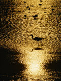 A Great Blue Heron Stands in Silhouette Photographic Print by Bates Littlehales