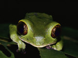 Close-up of a Green Tree Frog Photographic Print by Mattias Klum