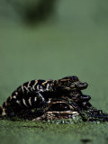 Newborn American Alligators Ride on Their Mothers Back Photographic Print by Chris Johns