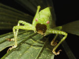 Pink-Eyed Tropical Female Katydid, Mouth Agape and Spiny Legs on Leaf Photographic Print by Darlyne A. Murawski