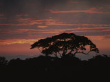 A Rain Forest Tree Silhouetted against the Evening Sky Photographic Print by Michael Melford