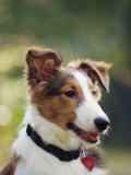 A Portrait of a Shetland Sheepdog, Also Known as a Sheltie Photographic Print by Kenneth Garrett