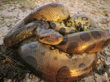 A Coiled Anaconda Photographic Print by Ed George