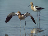 American Avocets Photographic Print by Bates Littlehales