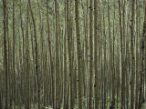 A Dense Forest of Skinny Birch Trees Photographic Print by Todd Gipstein