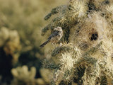 A Cactus Wren Perches on a Cholla Cactus Near the Entrance to its Nest Photographic Print by Walter Meayers Edwards