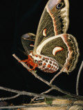 A Female Cecropia Moth Has Just Emerged from its Cocoon Photographic Print by Darlyne A. Murawski