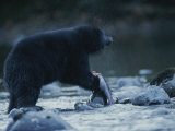 A Black Bear Feeds Itself on a Half-Eaten Salmon Photographic Print by Joel Sartore