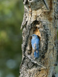 Mountain Bluebird at Nest on Tree Trunk Photographic Print by Norbert Rosing