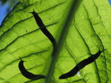 Close View of Banana Slugs Silhouetted Atop a Leaf Photographic Print by Joel Sartore