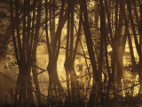 Alder Tree Marshland at Sunrise Photographic Print by Norbert Rosing