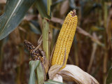 Drought-Stunted Ears of Corn on Brown Stalks Photographic Print by Stephen St. John