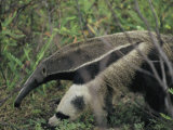 A Giant Anteater Photographic Print by Ed George