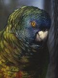 Saint Lucia Parrot Photographic Print by Bates Littlehales