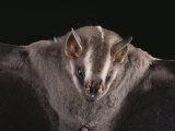Close View of a Bat in a Rain Forest in Costa Rica Photographic Print by Michael Melford