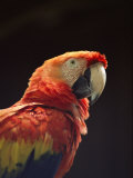 A Close View of a Macaw Stampa fotografica di Kenneth Garrett